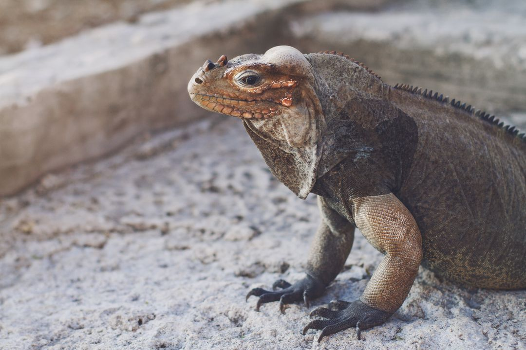 Lizard Agama Common iguana