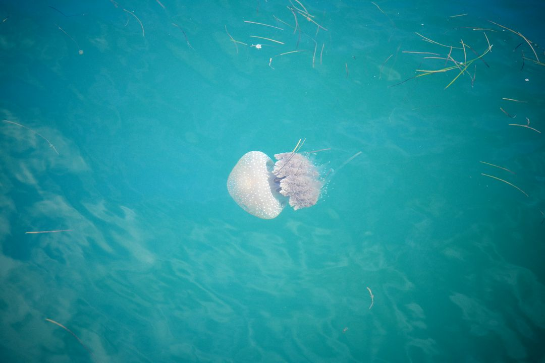 Jellyfish Invertebrate Animal