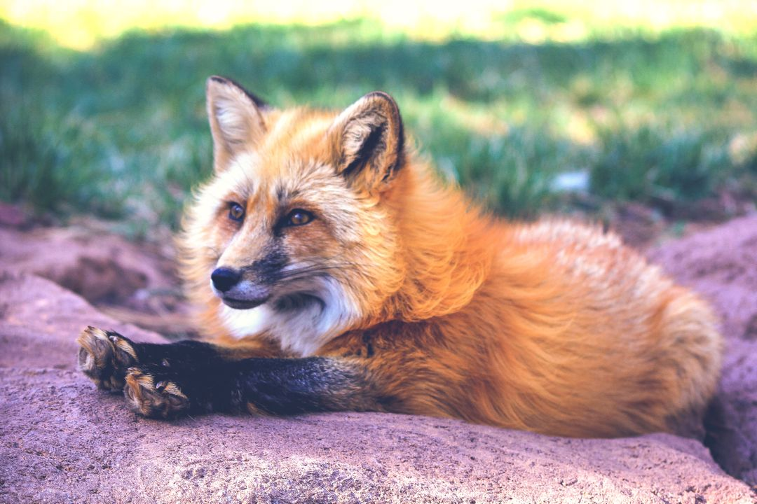 Fox Canine Red fox