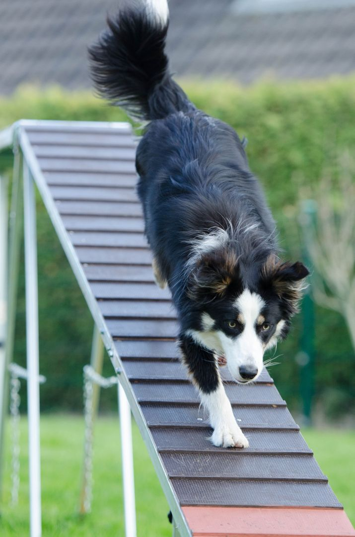 Agility catwalk dog training training