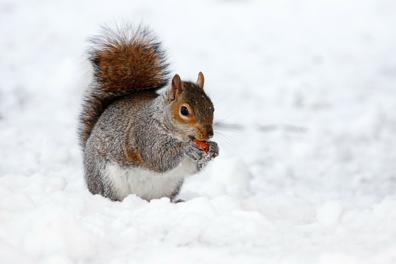 FREE squirrel Stock Photos from PikWizard