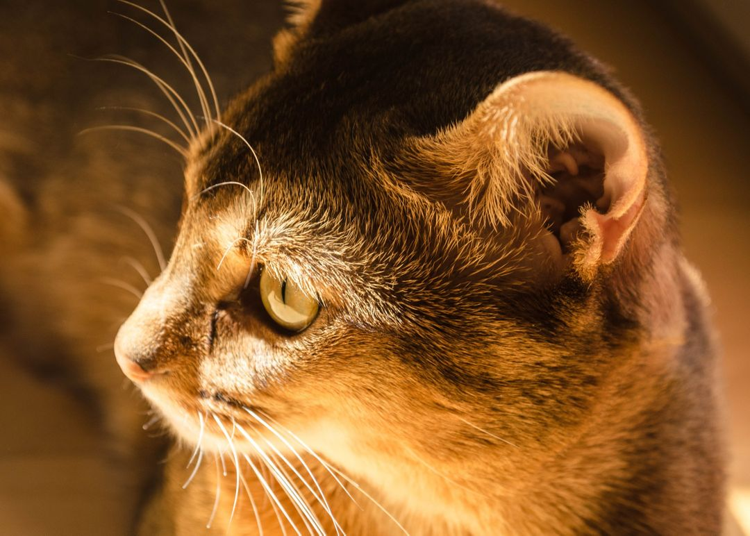 Abyssinian adorable animal animal photography