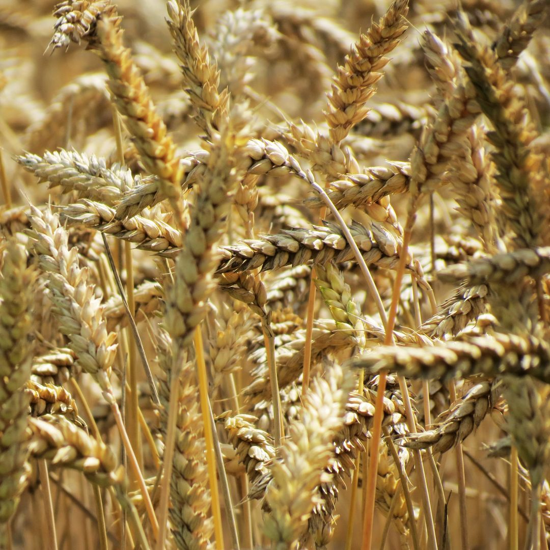 Wheat Cereal Grain
