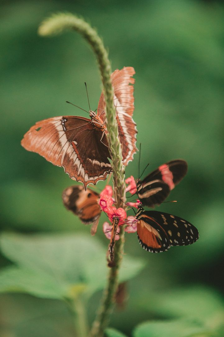 Butterfly Insect Ringlet