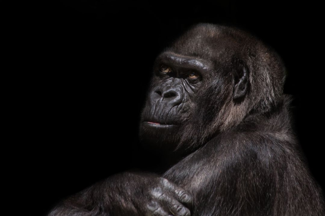 Animal animal world ape black