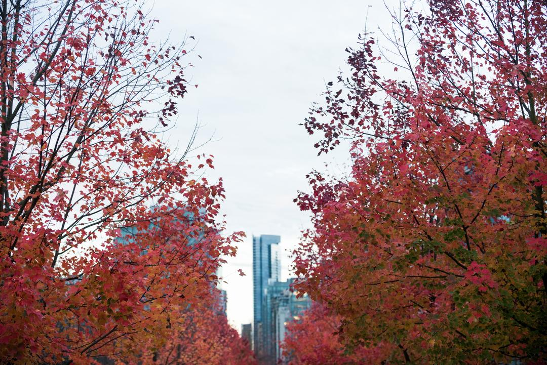 Row of maple trees in the city during autumn season