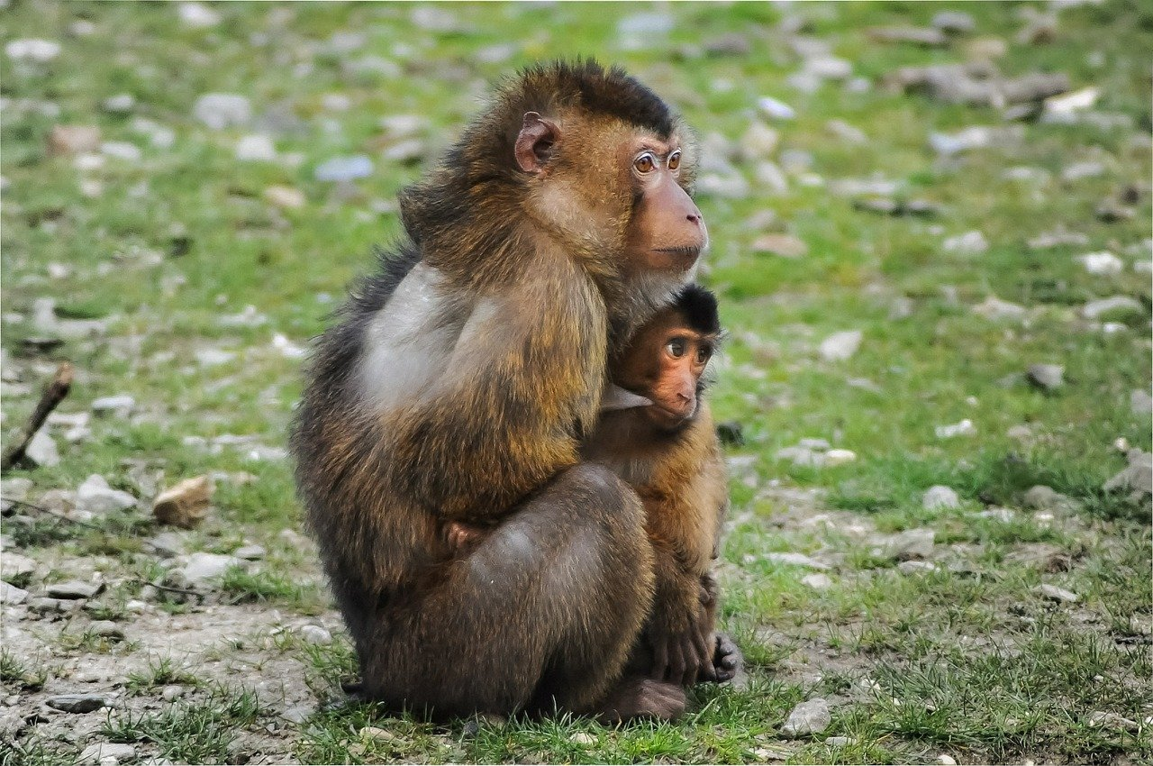 FREE baboon Stock Photos from PikWizard