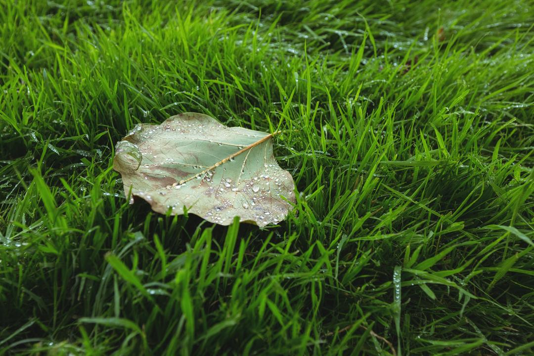 Maple leaf fallen on green grass, backgrounds