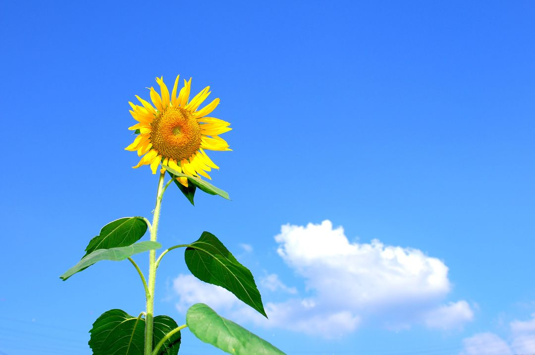 Sunflower Blooming during Daytime Free Stock Images from PikWizard
