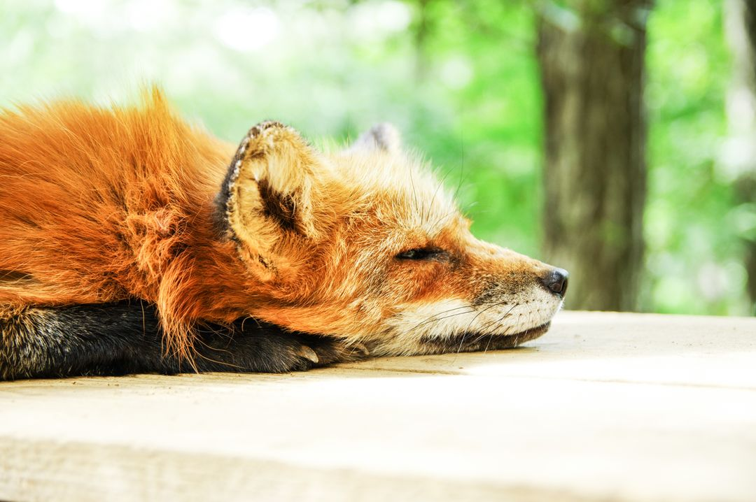 Animal cute fox sleep