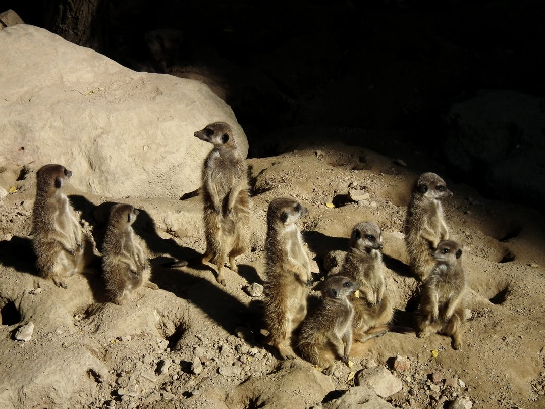 Cute group meerkat pack