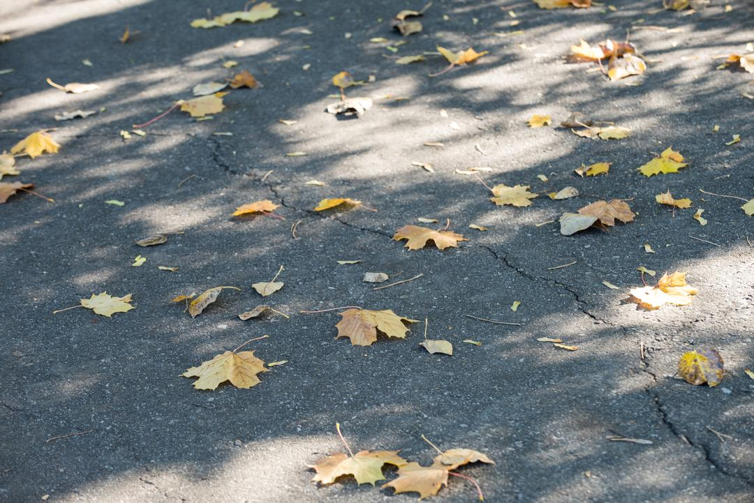 Close-up of dried maple leaves fallen on the road