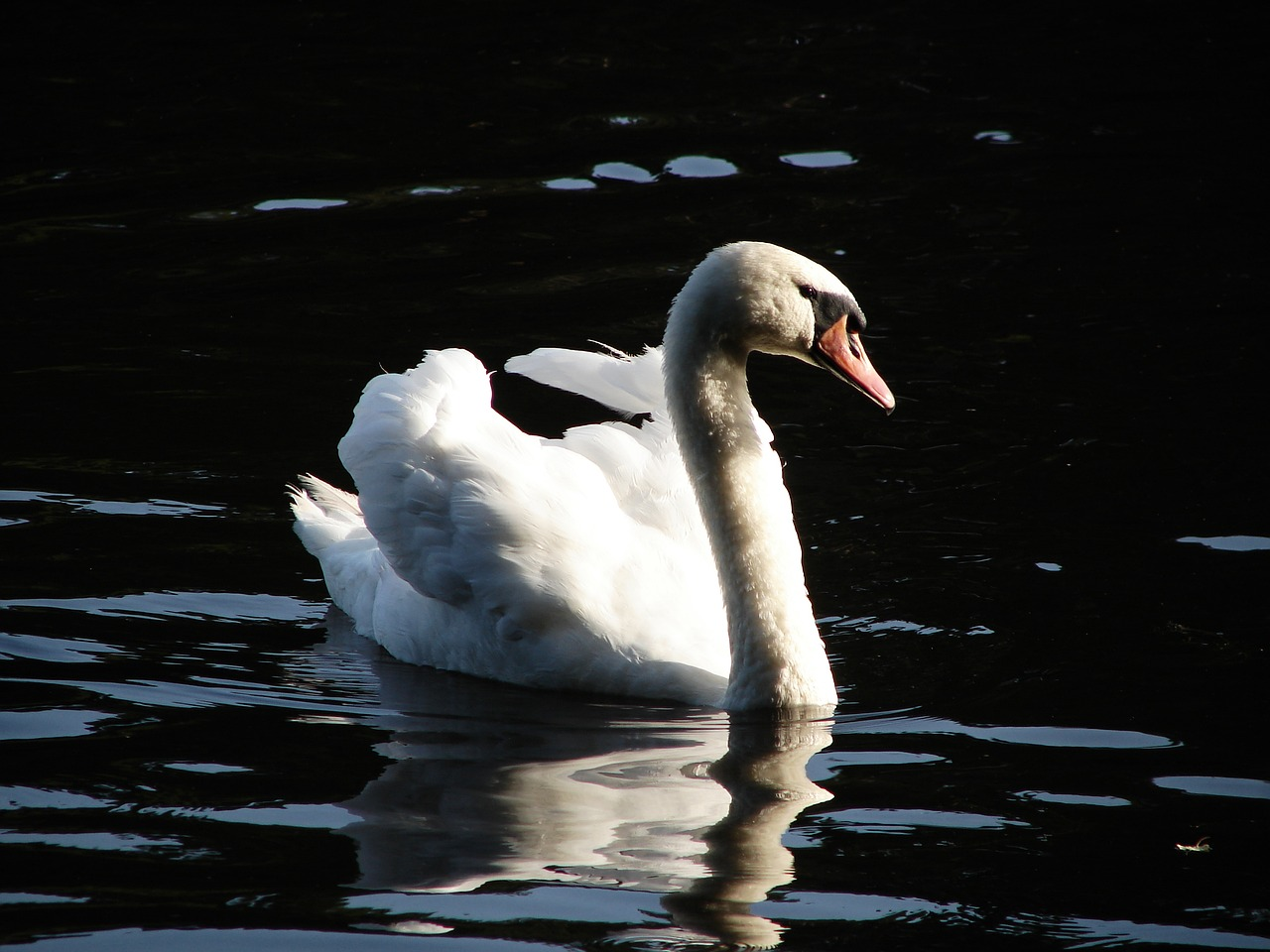 FREE waterfowl Stock Photos from PikWizard