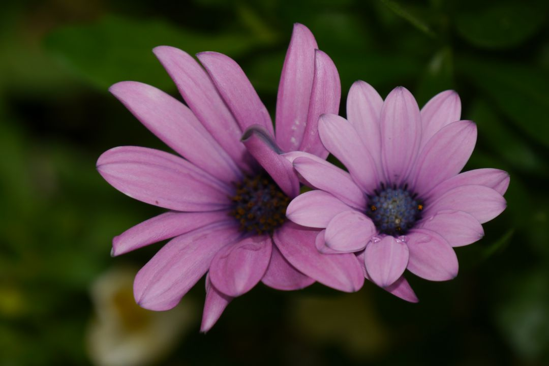 2 Purple Petaled Flower in Selective Focus Photography