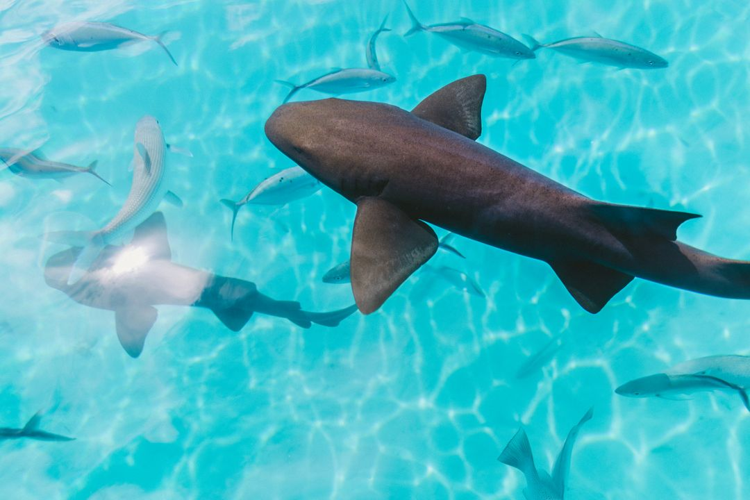 Hammerhead Shark Water