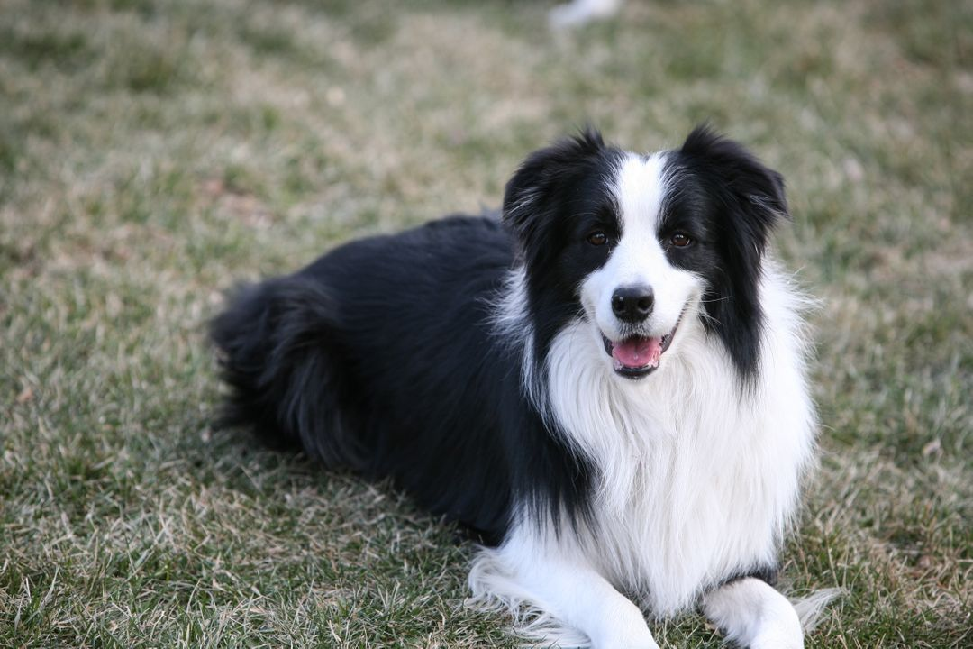 Border collie Shepherd dog Dog