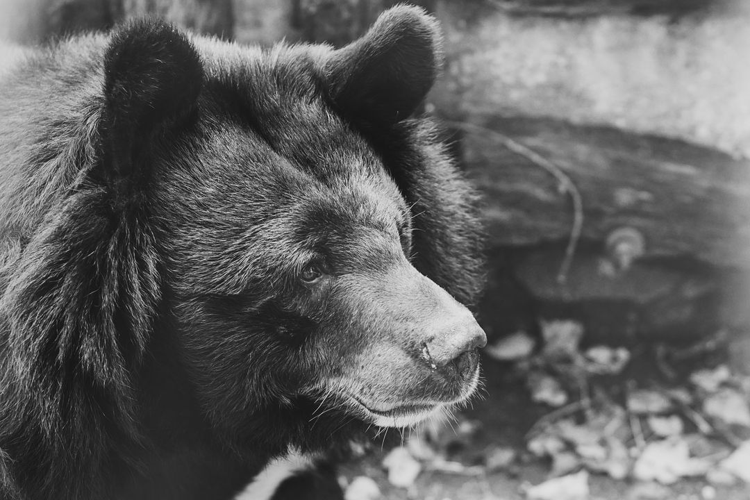 Animals atmosphere bear black