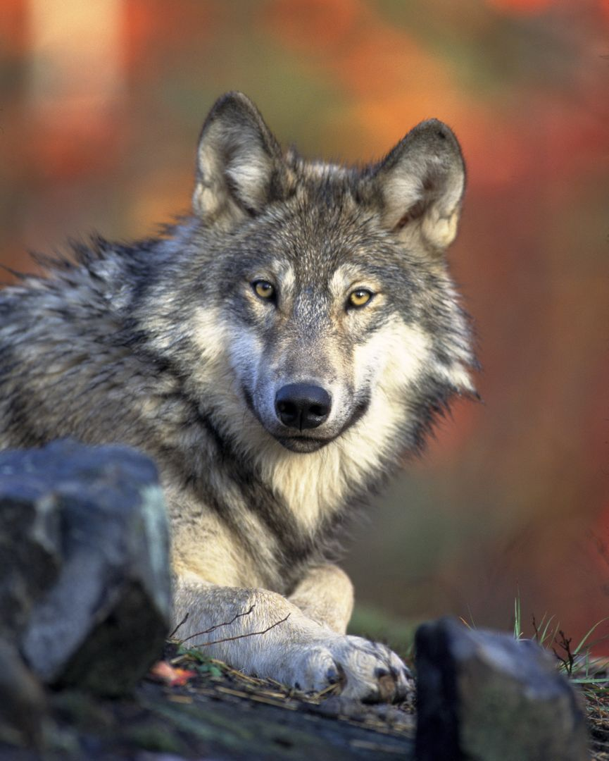 Wolf Timber wolf Canine