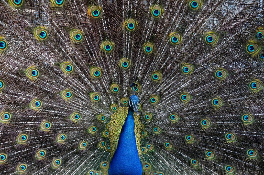Peacock bird with feathers raised