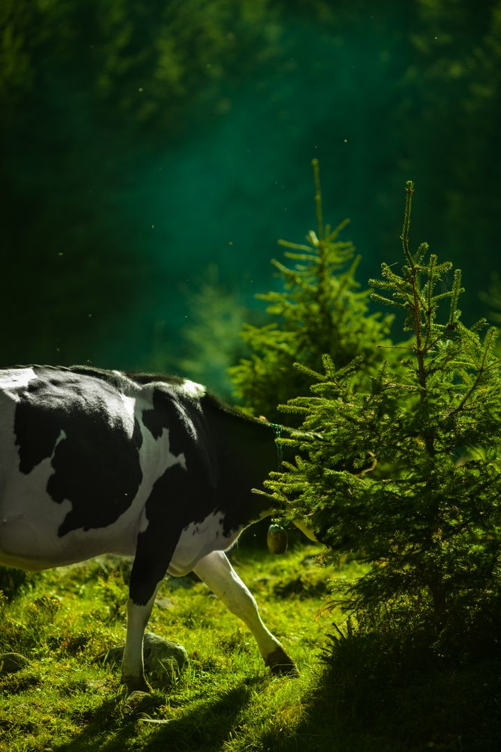 Black and White Cow on Green Grass Behind Green Leaf Plant