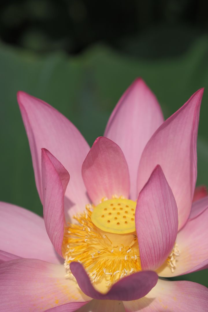 Color flower lotus morning