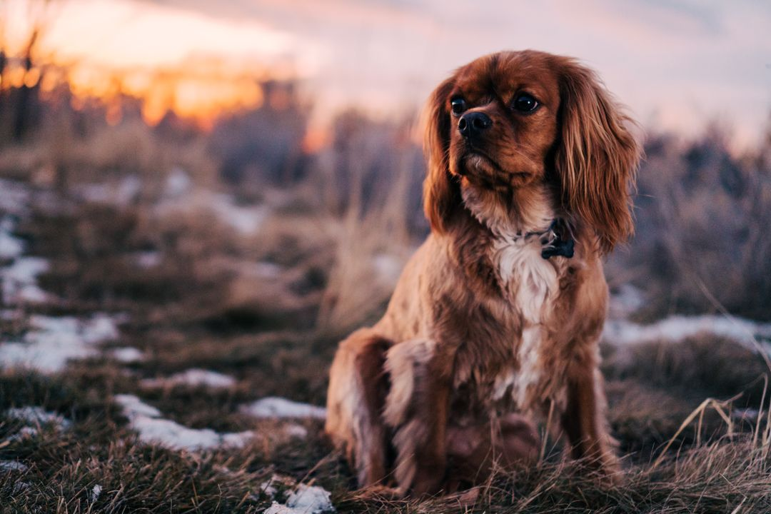Sussex spaniel Sporting dog Spaniel