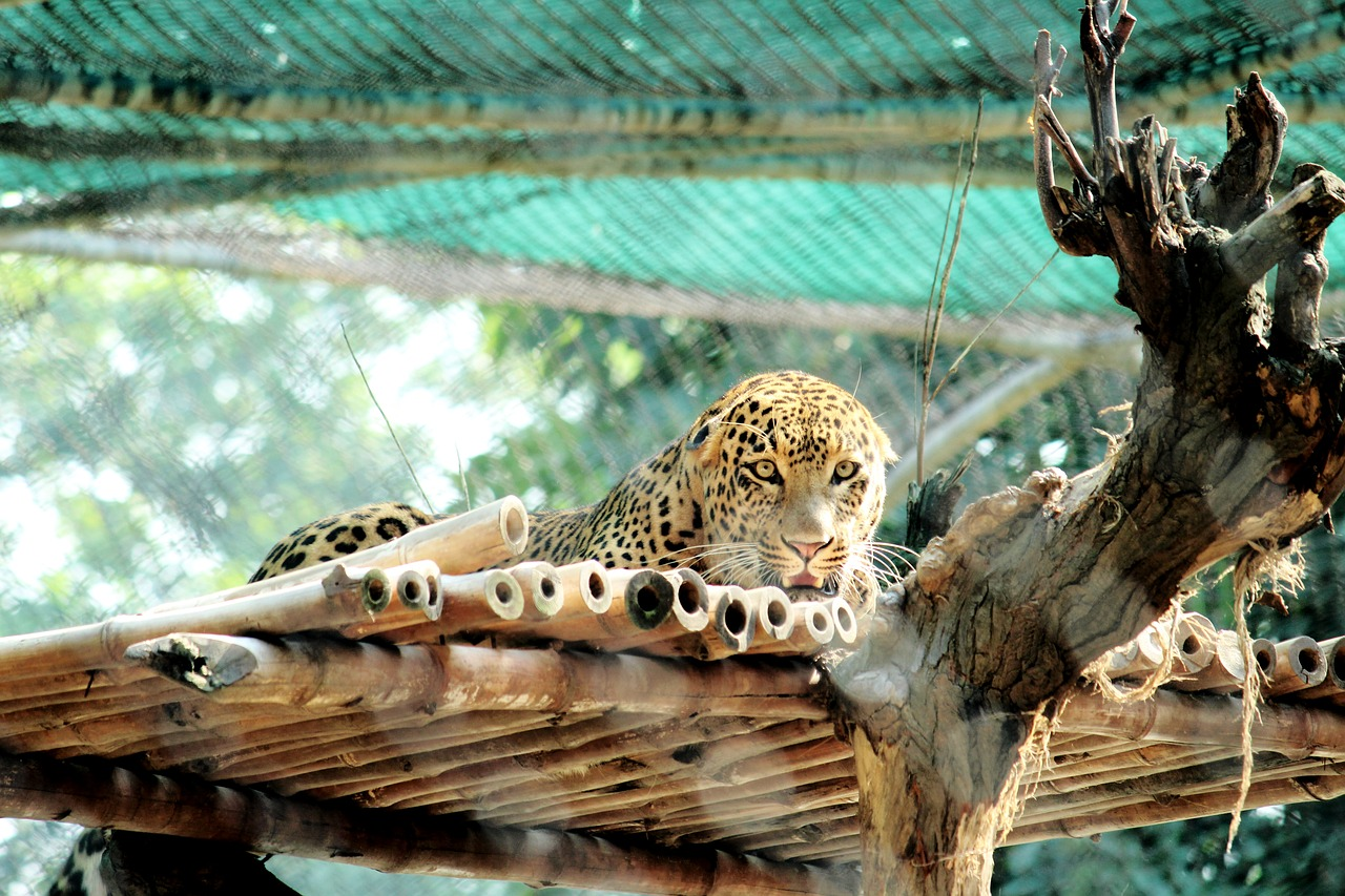 FREE leopard Stock Photos from PikWizard