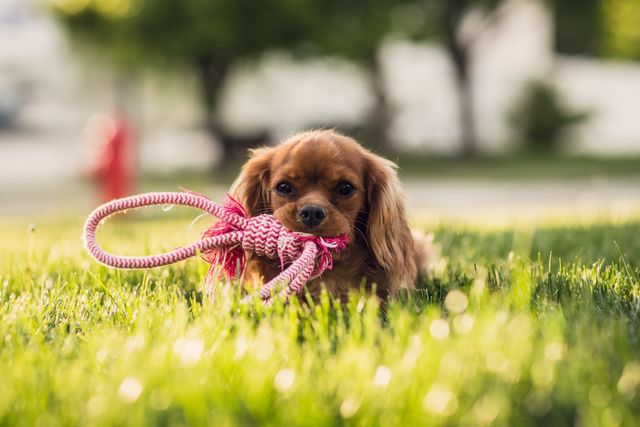 Dog in garden with a red rope in its mouth