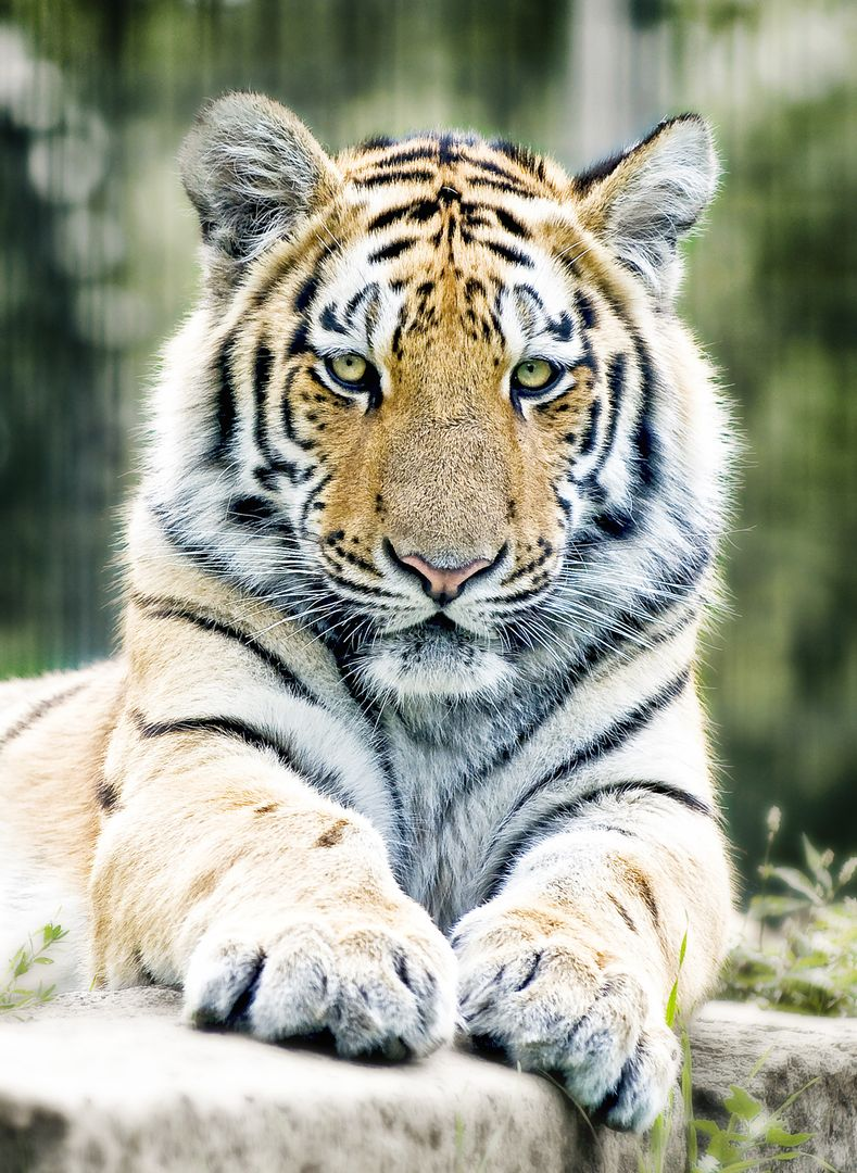 Close-up Portrait of Tiger