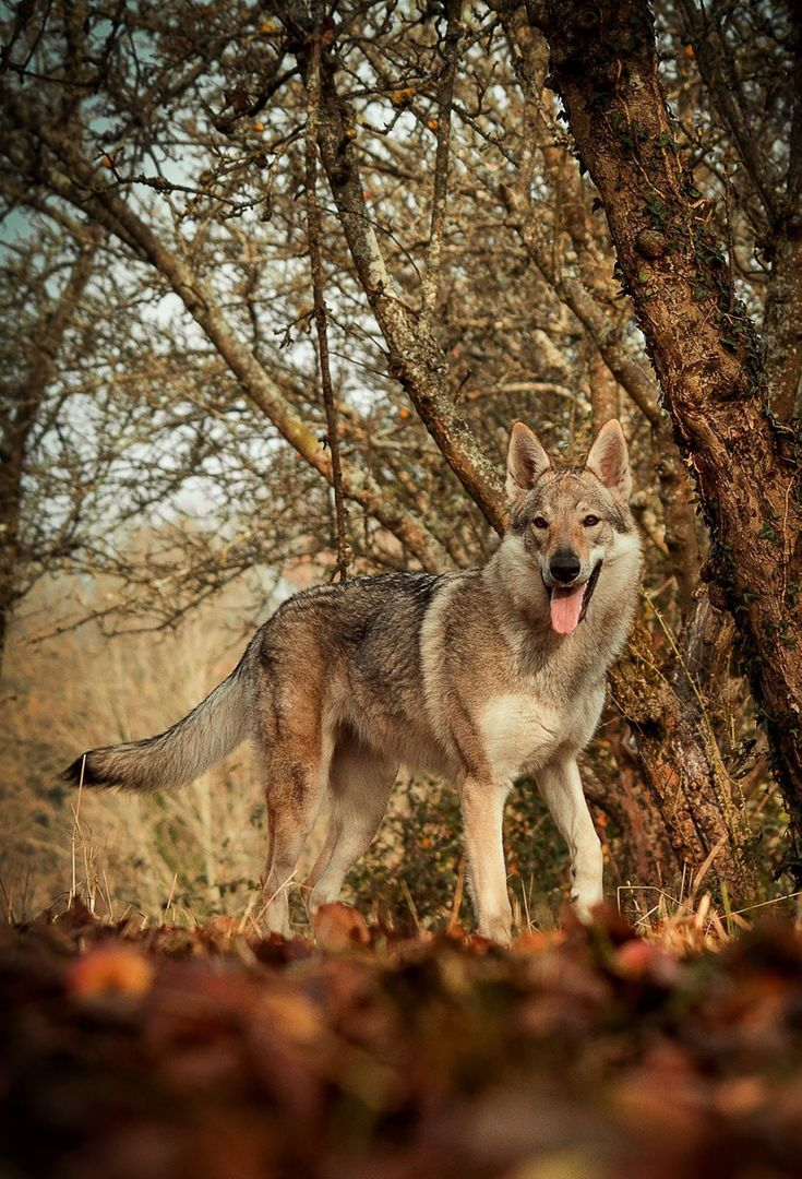 Dog domestic animal forest nature