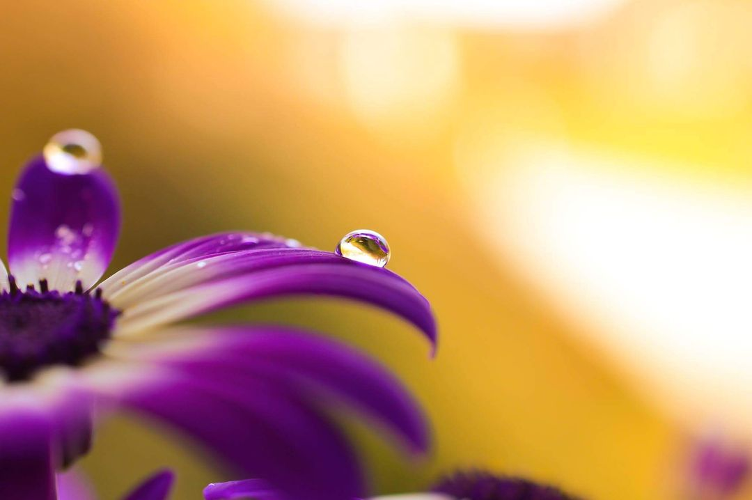 African daisy drops flowers