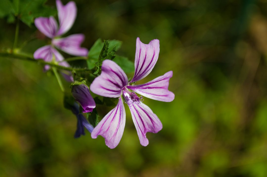 Mallow flower purple