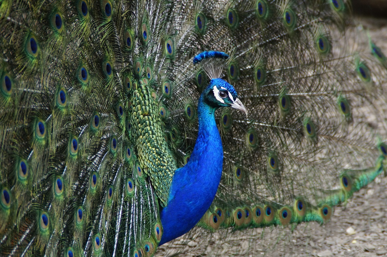 FREE peafowl Stock Photos from PikWizard