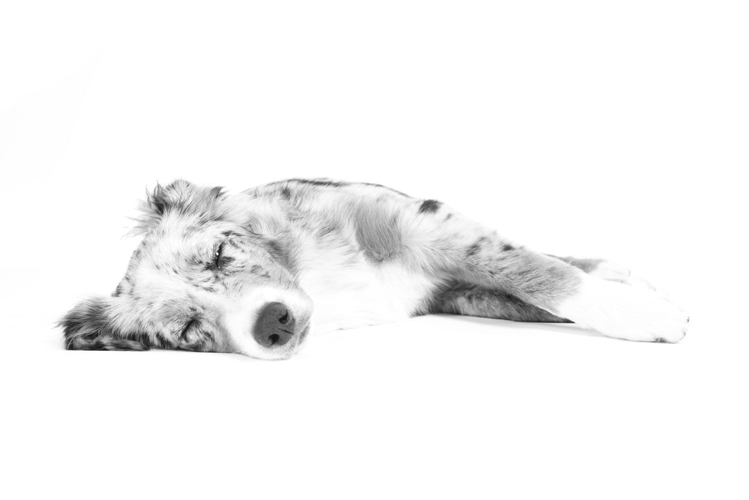 Black and white dog lying relax