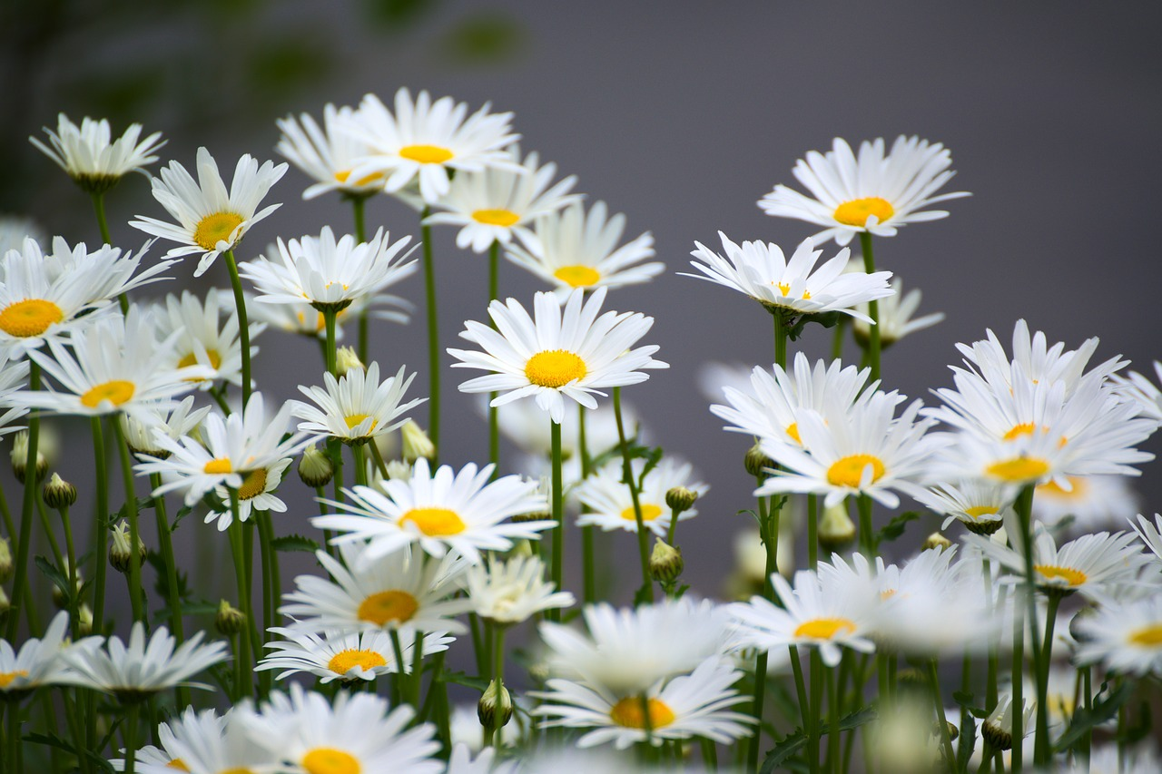 FREE daisy Stock Photos from PikWizard