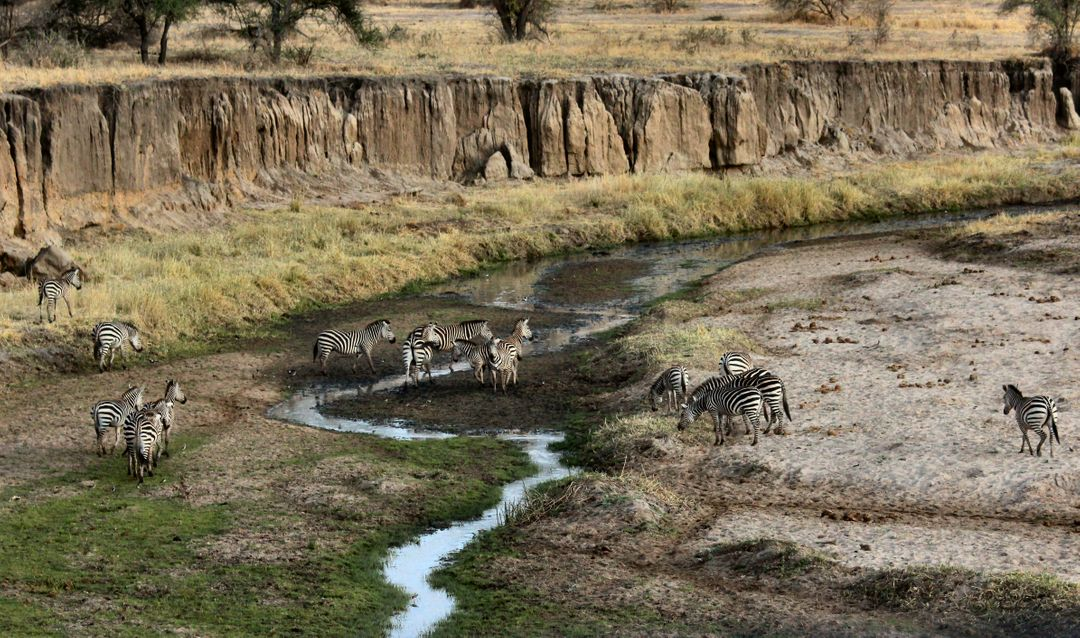 Image of Zebras in the Nature