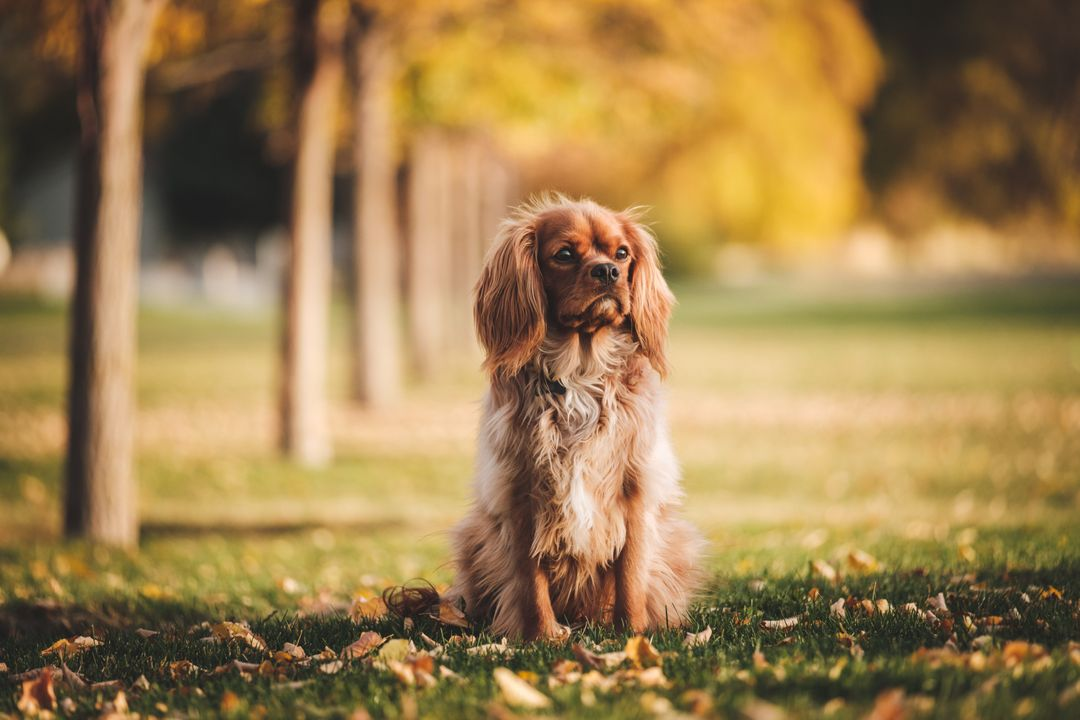Sussex spaniel Spaniel Sporting dog
