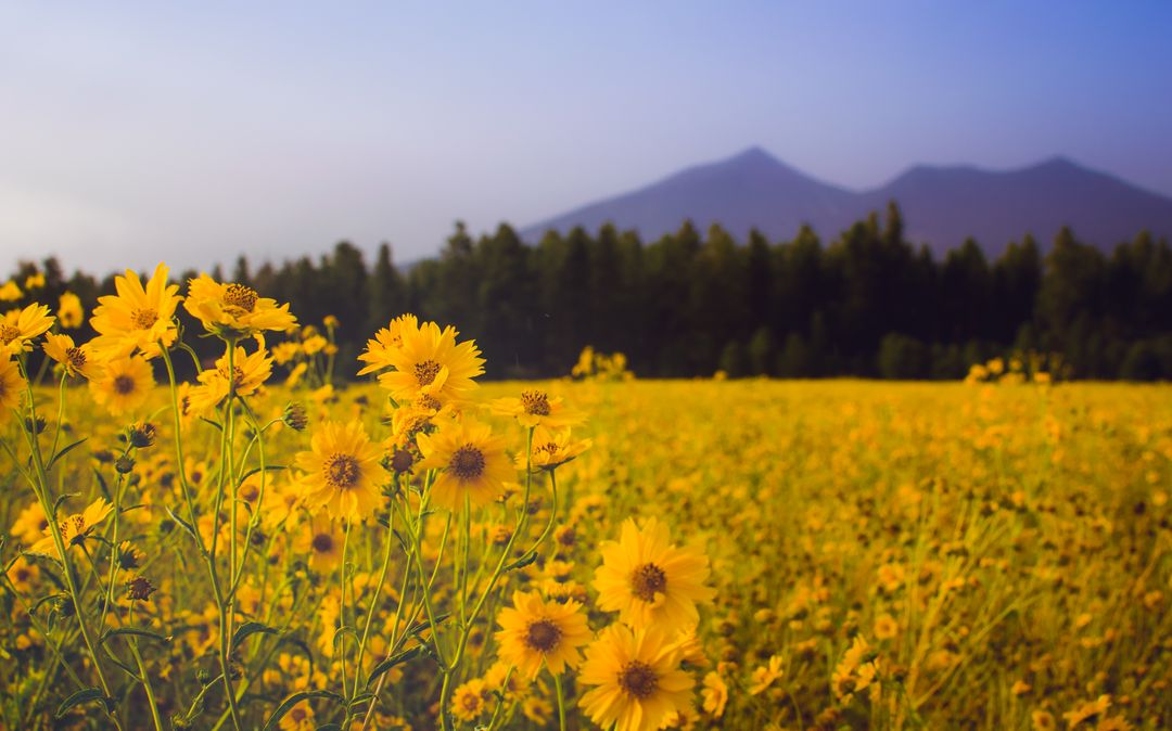 Nature Photography of Sun Flowers Blooming