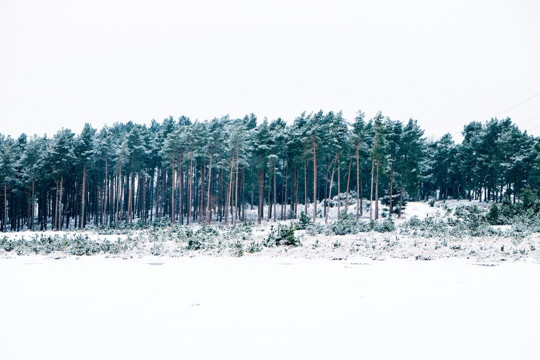 Trees forest snow
