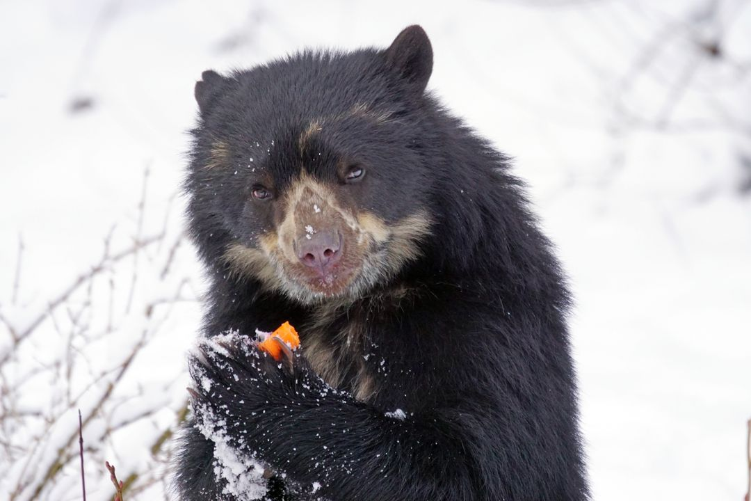Andean bear andes creature eat