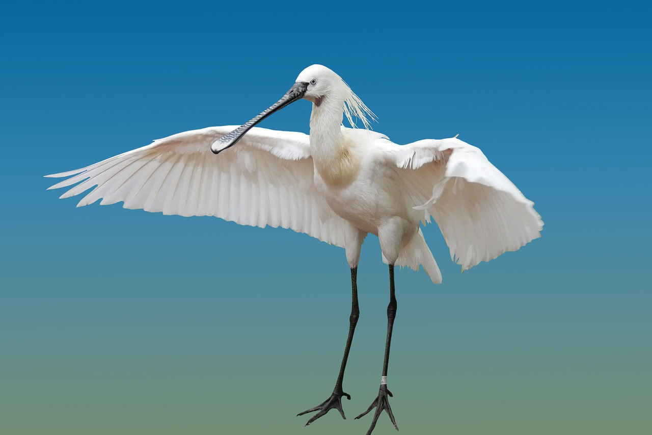 FREE spoonbill image