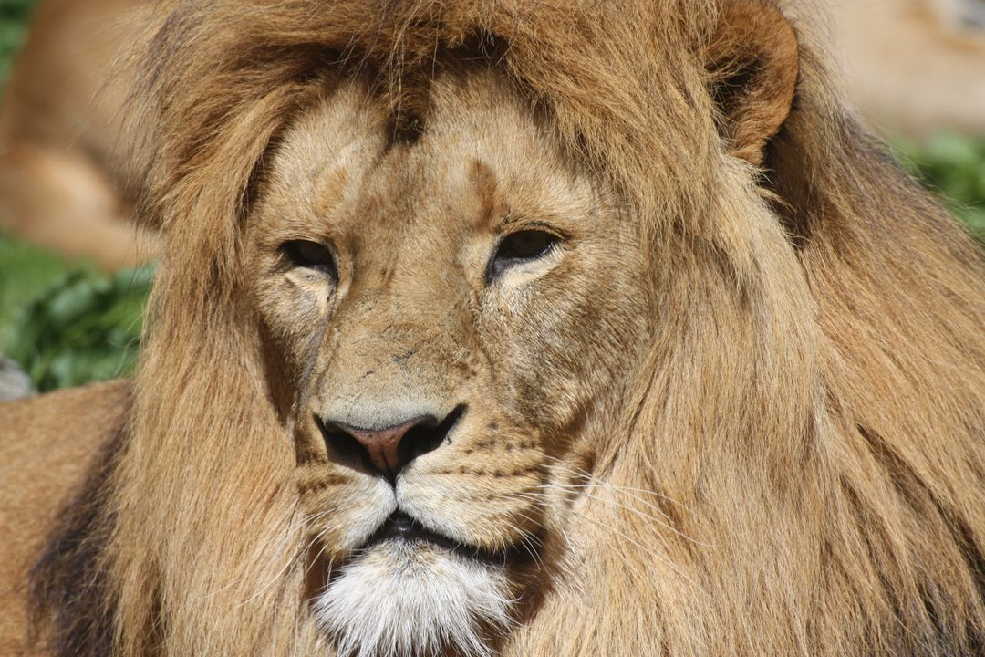 Animals lion lion s mane