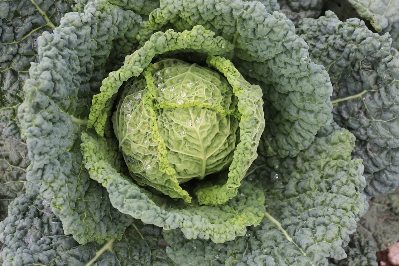 FREE cabbage Stock Photos from PikWizard