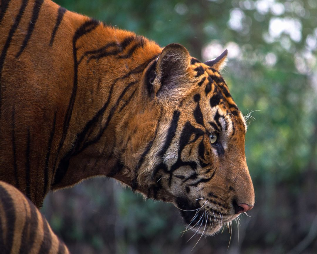 Close-up of Tiger