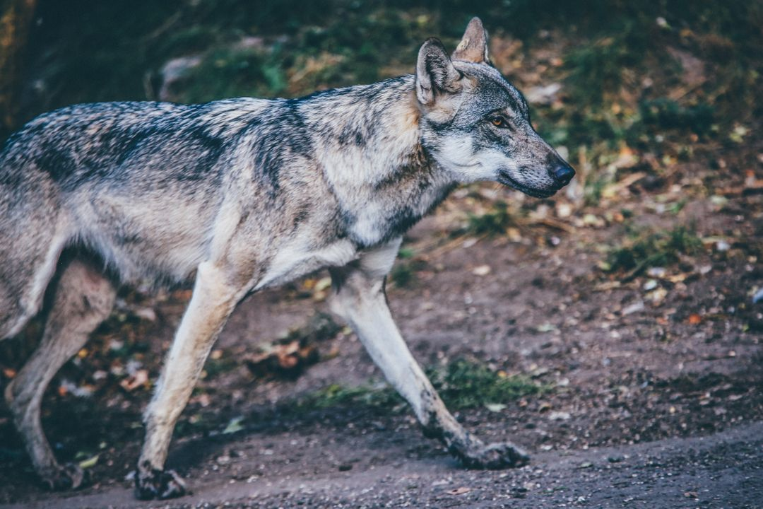 Wolf Canine Timber wolf