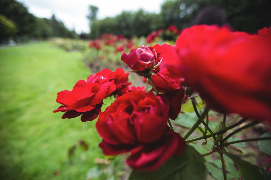 Close-up of red roses on plant, backgrounds