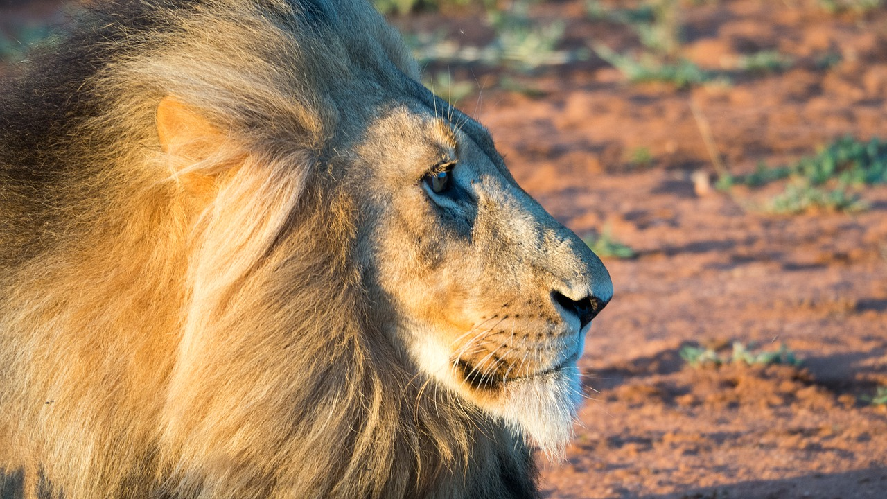 FREE lion Stock Photos from PikWizard