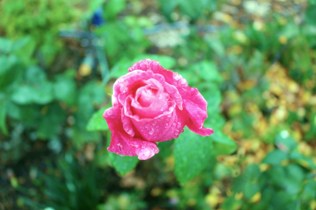 Rose Pink Shrub