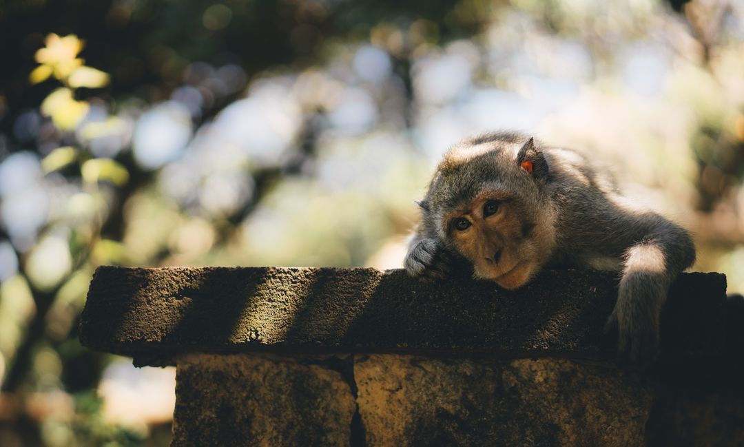 Gray Monkey Lying on Concrete Tile Free Stock Images from PikWizard