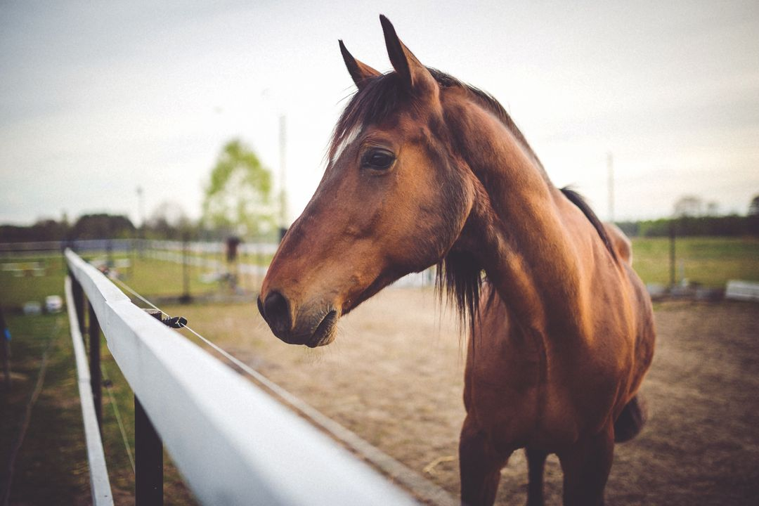 Thoroughbred Horse Equine
